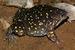 Spotted Snout-burrower_Hemisus guttatus