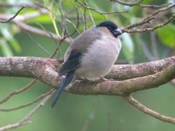 Azores Bullfinch_Pyrrhula murina