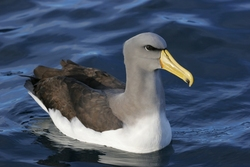 Chatham Albatross_Thalassarche eremita