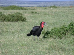 Southern Ground-hornbill_Bucorvus leadbeateri