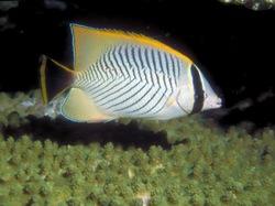 Chevron Butterflyfish_Chaetodon trifascialis