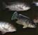 Oreochromis karongae