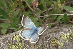 Chalkhill Blue_Polyommatus coridon