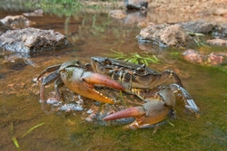 Common Creek Crab_Liberonautes latidactylus