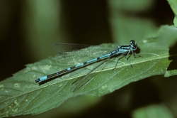 Cretan Bluet_Coenagrion intermedium
