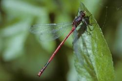 Greek Red Damsel_Pyrrhosoma elisabethae
