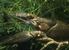 Noble Crayfish_Astacus astacus