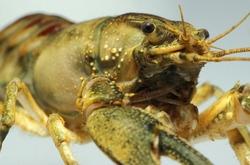 Spinycheek Crayfish_Orconectes limosus