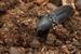 Violet Click Beetle_Limoniscus violaceus