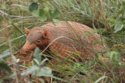 Giant Armadillo_Priodontes maximus