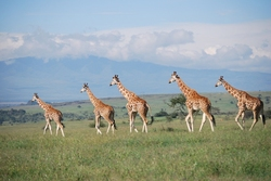 Rothschild's Giraffe_Giraffa camelopardalis ssp. rothschildi