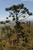 Araucaria biramulata
