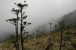 Araucaria humboldtensis