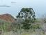 Araucaria muelleri