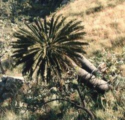 Escarpment Cycad_Encephalartos brevifoliolatus
