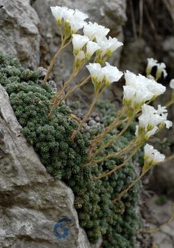 Sassifraga del Monte Tombea_Saxifraga tombeanensis
