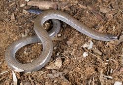 Eared Worm-lizard_Aprasia aurita