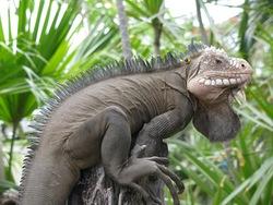 Lesser Antillean Iguana_Iguana delicatissima