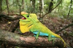 Lyre Head Lizard_Lyriocephalus scutatus