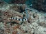 Yellow-lipped Sea Krait_Laticauda colubrina