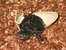 Yunnan Box Turtle_Cuora yunnanensis