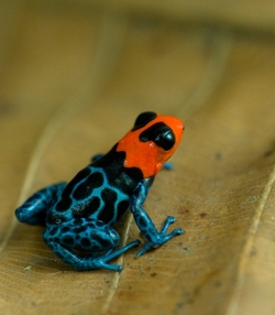 Blessed Poison Frog_Ranitomeya benedicta