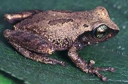 Green Eyed Bushfrog_Raorchestes chlorosomma