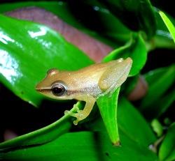 Sri Lanka Petite Shrub-frog_Pseudophilautus tanu