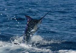 Blue Marlin_Makaira nigricans
