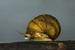 Plicate Rocksnail_Leptoxis plicata
