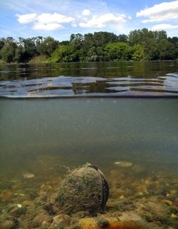 Spenglers Freshwater Mussel_Margaritifera auricularia