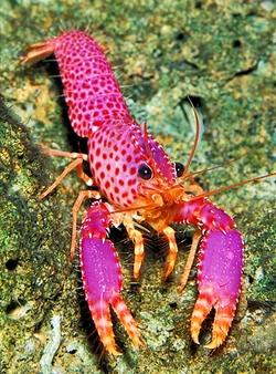 Violet-spotted Reef Lobster_Enoplometopus debelius
