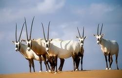 Arabian Oryx_Oryx leucoryx