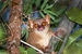 Northern Giant Mouse Lemur_Mirza zaza