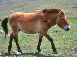 Przewalskis Horse_Equus ferus