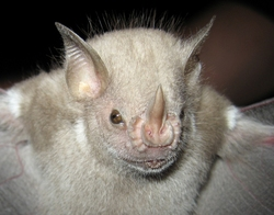 Red Fruit Bat-Stenoderma rufum
