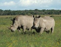Southern White Rhino_Ceratotherium simum ssp. simum