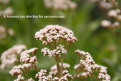 Centranthe À Trois Nervures_Centranthus trinervis