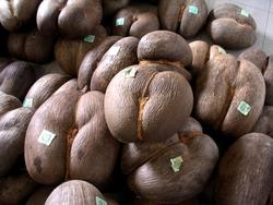 Coco de mer_Lodoicea maldivica