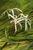 Onion Plant_Crinum thaianum