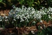 Snowdrop_Galanthus nivalis