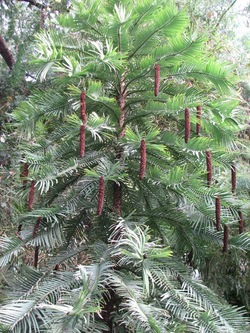 Wollemi Pine_Wollemia nobilis