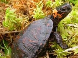 Bog Turtle_Glyptemys muhlenbergii