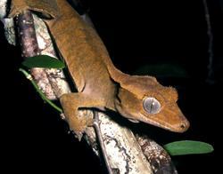 Crested Gecko_Rhacodactylus ciliatus
