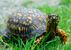 Eastern Box Turtle_Terrapene carolina