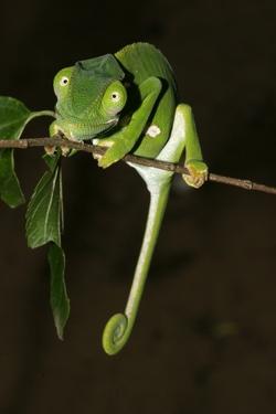 Flap-necked Chameleon_Chamaeleo dilepis