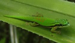 Island Day Gecko_Phelsuma nigristriata