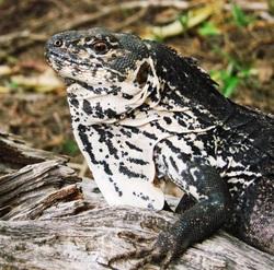 Motagua Spiny-tailed Iguana_Ctenosaura palearis