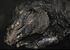 Navassa Rhinoceros Iguana_Cyclura onchiopsis