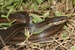 Peters Bright Snake_Liophidium mayottensis
